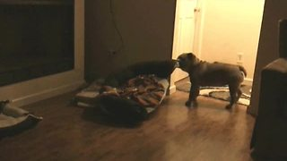 Lonely English Bulldog Drags Her Bed To Owners' Bedroom Door - Video