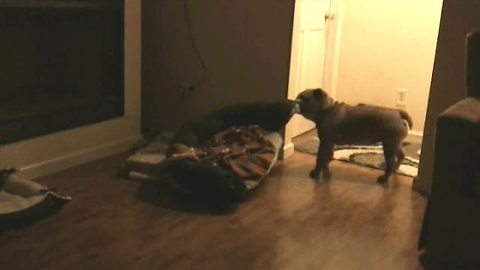 English Bulldog drags bed right to owner's bedroom door