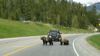 Grizzly bear mother leads cubs safely across Canadian highway
