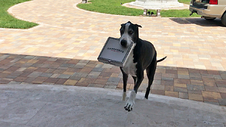 Great Dane acts as pizza delivery service