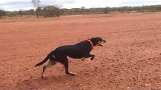 Slow Motion Video of Australian Working Dogs Sprinting - Video