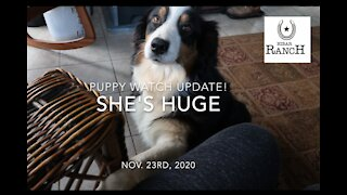 Australian Shepherd Puppy Update!! Nov. 23, 2020 I