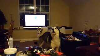 When Huskies Watch Videos of Other Huskies, This Happens - Video