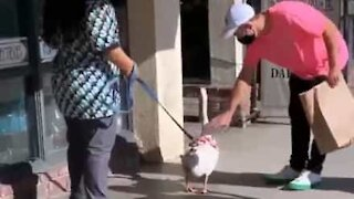 Man touches goose, regrets immediately