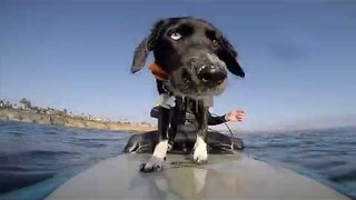 Puppy Goes Surfing for the First Time - Video