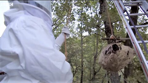 Asian Murder Hornets Attack and Brutally Kill Bees