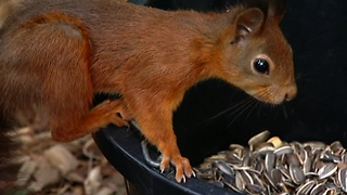 Red Squirrels Are Back - Video