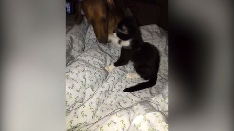 Kitten Loves To Wrestle With Dog