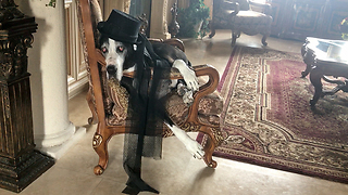 Fashion Diva Great Dane Models her New Hat  - Video