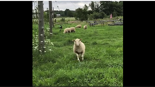 Sheep come running towards woman when called - Video