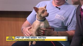 Pet of the week: Natsu is a very sweet 18-month-old Chihuahua needing a home - Video