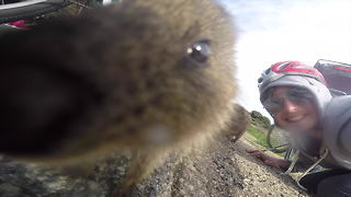 Australian island home to cute little quokkas  - Video