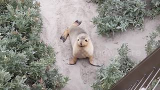 Cute Australian sea lion on Kangaroo Island - Video