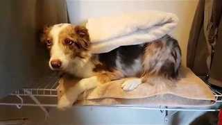 Border Collie Does Her Own Laundry - Video