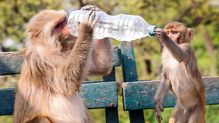 Monkey business – Chimp drinks from bottom of water bottle - Video