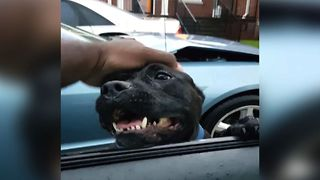 Adorable Dog Jumps Into Stranger's Car For Food - Video