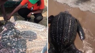 Giant Leatherback Turtle Returned To Sea After Locals Save It From Sale