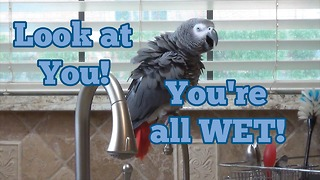 Parrot tells owner to take a shower, makes hilarious comment - Video