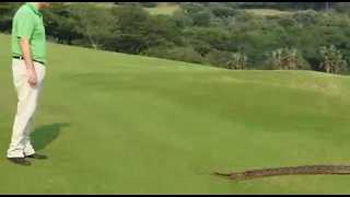 Enormous Python Slithers Onto Golf Course in Zimbali, South Africa - Video