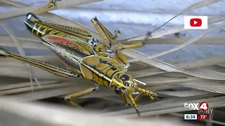 Grasshoppers cause trouble in Pine Island - Video