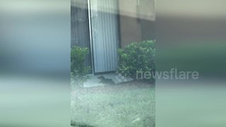 Baby alligator tries to get into Florida apartment - Video