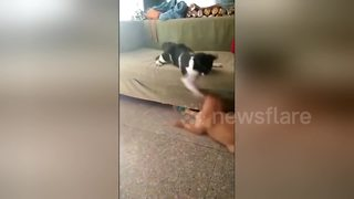 Angry cat beats up dog - Video