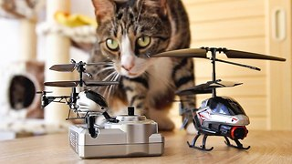 Cats take on world's smallest RC helicopter - Video