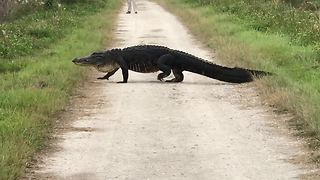 Gigantic alligator strolls across walking trail - Video