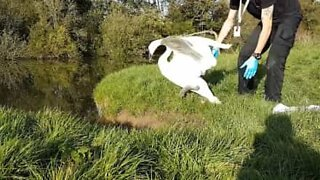 Swan rescued from fishing line