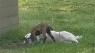 Dog and baby goat share incredible animal friendship