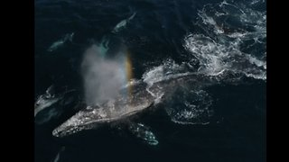 Grey Whales Have Dolphins for Company During Southbound Migration