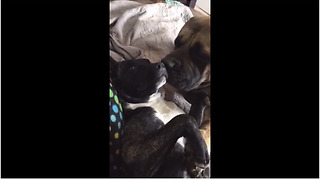 Adorable English Mastiff Can't Stop Cleaning His Rescued Sister's Face - Video