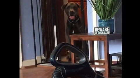 Dog Jumps Over Cage, But Not Vacuum Cleaner