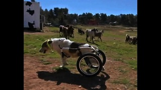 Paralyzed Dog Learns To Walk - Video