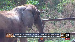 Maryland Zoo's Annual Pumpkin Smash - Video