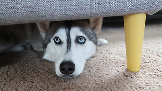 Husky goes absolutely insane for ice cube - Video