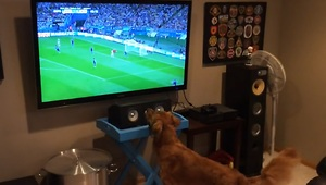 Sports loving dog watching the World Cup - Video