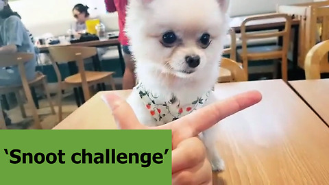 Pomeranian loves to perform the 'snoot challenge'