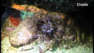 Diver Films Strange Sea Cucumber in Indonesia - Video