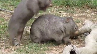 Just Two Young Wombats Mucking Around - Video