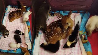 World's cutest petting zoo video of baby animals playing goes viral - Video