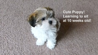 Adorable Puppy Learning to Sit at 10 weeks old - Video
