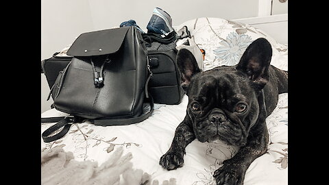 Frenchie knows his owner is going on vacation and he isn't happy about it