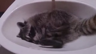Baby raccoon loves to lounge in bathroom sink - Video