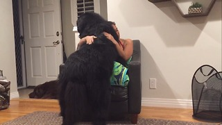 Massive Newfoundland thinks he's a tiny lap dog - Video