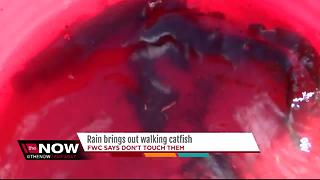 Rain brings out walking catfish - Video