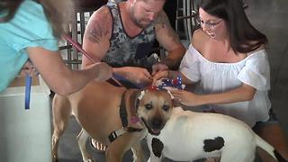Beloved former bait dog finds forever home - Video