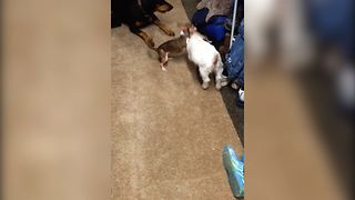 Baby Goat Finds Unusual Playmate