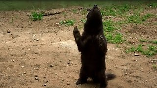 Fluffy Honey Badgers Play with Tire - Video