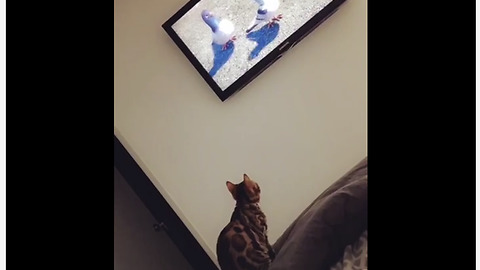 Cat attempts to hunt pigeons on TV